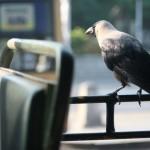 wrona w autobusie